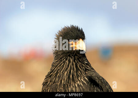 Striated Caracara, phalcoboenus australis, Falkland Islands - Stock Photo