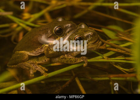 A pair of squirrel tree frogs (Hyla squirrela) in amplexus in a pool of water in the forest of North Carolina, USA. - Stock Photo