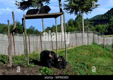 Spectacled bear - Zoo in GRANJA PORCON -  Evangelical cooperative - Department of Cajamarca .PERU                    - Stock Photo