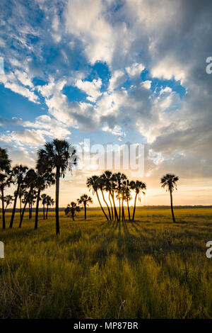 Late afternoon sun casting shadows from palm trees in Myakka River State Park in Sarasota Florida - Stock Photo