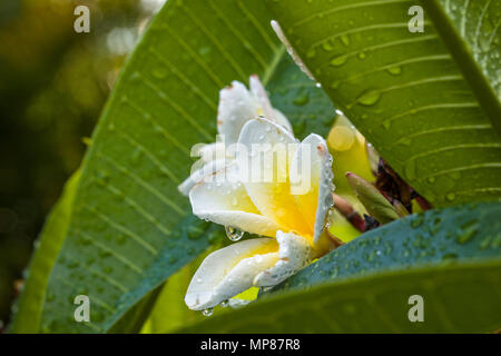Rain drops on single Plumeria white with yellow center flower, insolated,, isolated also known as  Lei flowers and Frangipani - Stock Photo