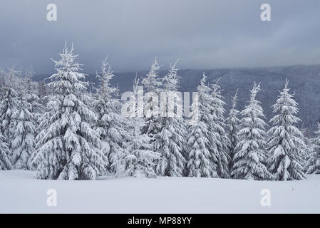 Scenic image of spruces tree. Frosty day, calm wintry scene. Location Carpathian, Ukraine Europe. Ski resort. Great picture of wild area. Explore the beauty of earth. Tourism concept. Happy New Year - Stock Photo