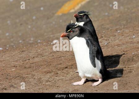 Rockhopper penguin, Falkland Islands - Stock Photo