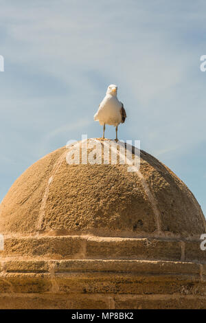 Seagull leaning on the walls of Essaouira. - Stock Photo