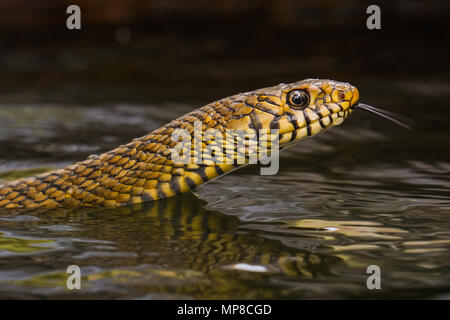 Rat Snake are member of the subfamily Colubrinae of the family Colubridae. They are medium to large constrictors.They feed on rodents and birds mainly. - Stock Photo
