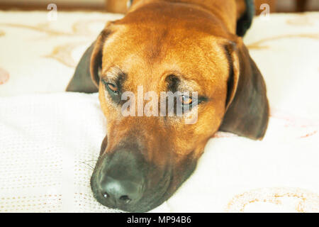 face home a big dog laying in the hallway on the floor - Stock Photo