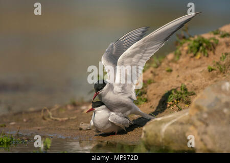 Arctic tern, Sterna paradisaea, mating, spring on their breeding ground in Northern Scotland. - Stock Photo