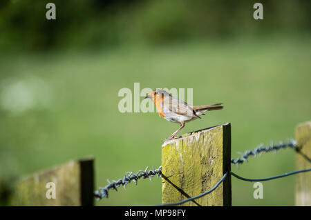 Robin on wooden pole of barbed wire fence - Stock Photo