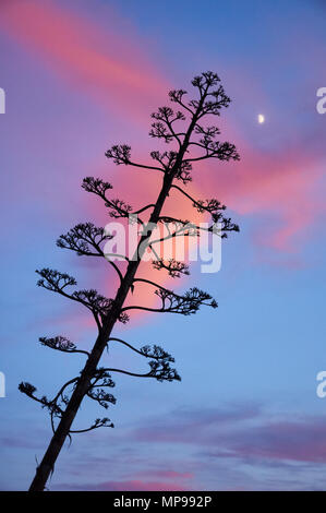 A sentry plant (Agave americana) flower stalk against the moon and the sunset rose clouds at El Pilar de la Mola (Formentera, Balearic Islands, Spain) Stock Photo