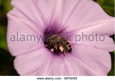 Macro image of a honey-bee pollinating a pink purple mauve Morning Glory(Convolvulaceae) flower - head-first into the bloom and covered in pollen. - Stock Photo