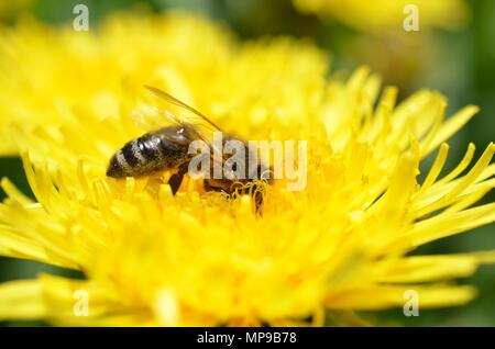 Honey bee on dandelion - Stock Photo