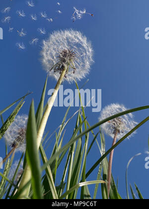 Dandelion Taxaxacum officinale seed blowing in the wind - Stock Photo
