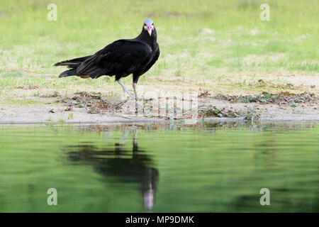 Lesser yellow-headed vulture (Cathartes burrovianus) at riverbank with reflection, Pantanal, Mato Grosso do Sul, Brazil - Stock Photo