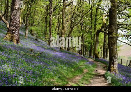 footpath through native bluebells Hyacinthoides non scripta and Atlantic oak woodland Gwenffrwd-Dinas RSPB Reserve Rhandirmwyn  Wales UK - Stock Photo