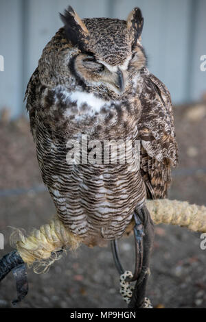 Sleeping Great Horned Owl (Bubo virginianus), also known as the tiger owl is a large owl native to the Americas. - Stock Photo