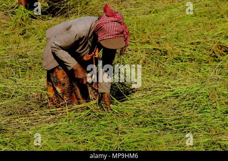 Asian woman working on rice field, near Skun, Cambodia - Stock Photo