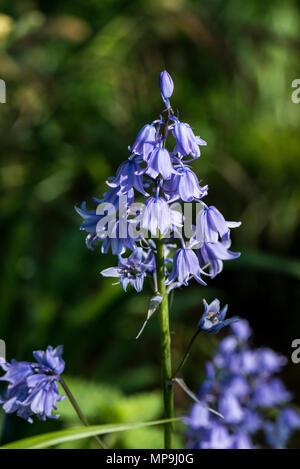 Spanish bluebells (Hyacinthoides hispanica) in flower - Stock Photo