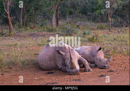 An adult white rhinoceros (Ceratotherium Simum) with baby in the african savannah inside the Entabeni Game Reserve, Limpopo Province, South Africa. - Stock Photo