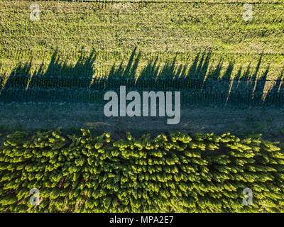 Top view field with young trees, conservation of the forest. Photo from the drone - Stock Photo