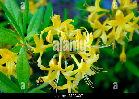 AZALEA, HONEYSUCKLE AZALEA, YELLOW AZALEA, - Stock Photo