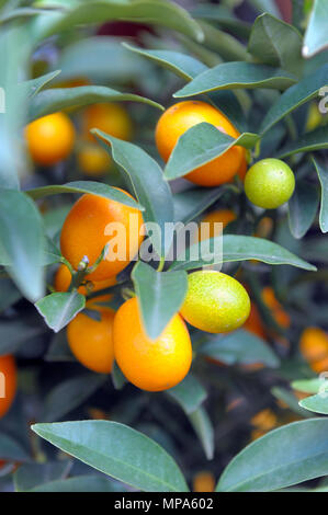 Perfect kumquat fruit on tree - Stock Photo