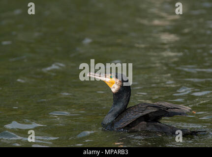 Great Cormorant,(Phalacrocorax carbo),also  known as the Great Black Cormorant, Regents Park, London, United Kingdom - Stock Photo