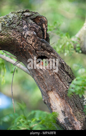 juvenile Ring-necked parakeet,(Psittacula krameri), also known as Rose-ringed parakeet,looks out from its nest hole,Regents Park,London,United Kingdom - Stock Photo