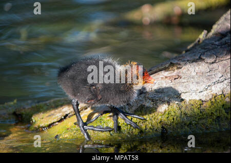Eurasian Coot chicks, also known as Common Coot or Coot, (Fulica atra), Regents Canal, London, United Kingdom - Stock Photo