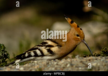 Eurasian Hoopoe bird,  Upupa epops, searching for bugs, March 2018 in Almeria Andalucia Spain - Stock Photo