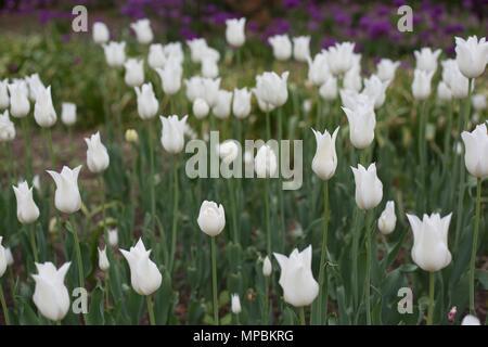 Lily-flowered white triumphator tulips at the Minnesota Landscape Arboretum outside of Minneapolis in Chaska, Minnesota, USA. - Stock Photo
