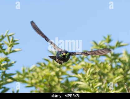 Common starling (AKA European starling and Sturnus vulgaris) flying towards the camera with food in its mouth in Spring in West Sussex, England, UK. - Stock Photo