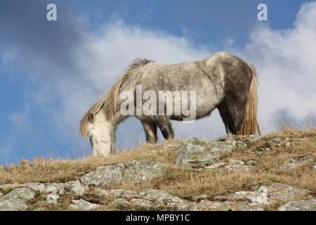 A wild Eriskay pony grazes on Eriskay, South Uist, Outer Hebrides. - Stock Photo
