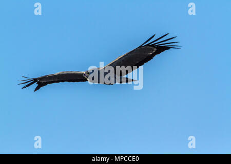African harrier-hawk in Kruger national park, South Africa ; Specie Polyboroides typus family of Accipitridae - Stock Photo