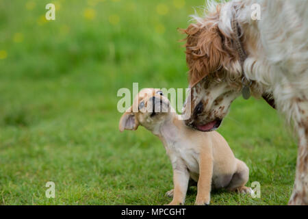 Pug puppy meeting other dogs ans not being sure ! - Stock Photo