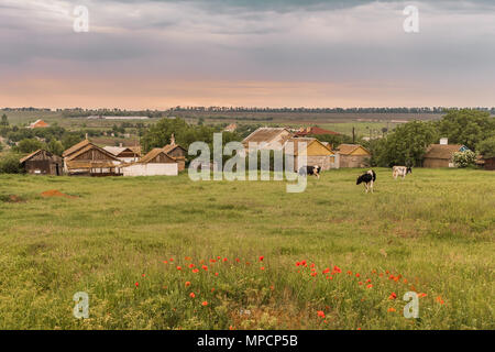 Cows graze in the field against the background of rural houses. Behind the houses there are fields and a forest belt on the horizon. Sunset sky - Stock Photo
