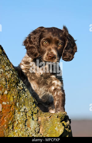 Young brown roan colored German Spaniel puppy posing on a tree branch in front of blue sky, the dog breed also known as Deutscher Wachtelhund, Germany - Stock Photo