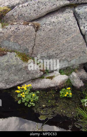 Small yellow flowers growing in crevices between rocks on the Knivskjelodden peninsula in Norway. - Stock Photo