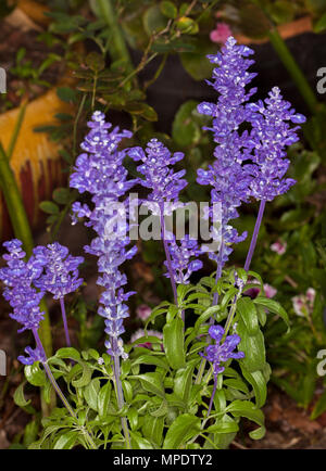 Spikes of deep blue purple flowers and green leaves of salvia spikes of deep blue purple flowers and green leaves of salvia farinacea sallyfun mightylinksfo