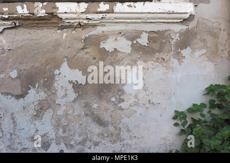 Green bush of a plant against a white ruined wall with spots and stripes of brown color. - Stock Photo