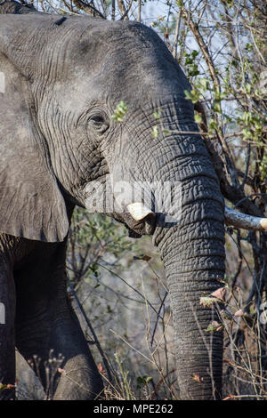 African elephant with broken tusk emerging from bushes, South Africa - Stock Photo