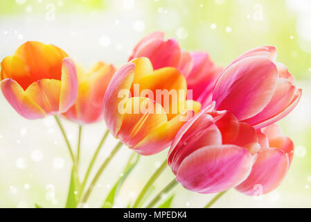Beautiful bouquet of yellow-pink tulip flowers with green leaves at spring closeup - Stock Photo