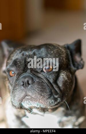 Black french bulldog with blur background. dog with sad eyes. close-up - Stock Photo