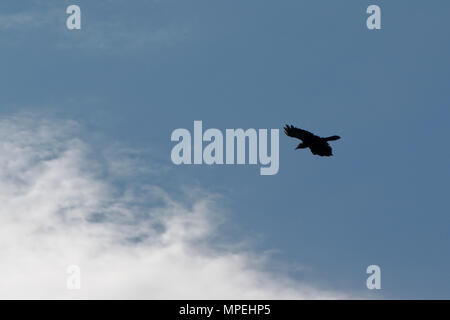 Silhouette of a single flying crow on a blue sky with fluffy clouds with copy space, view from below - Corvus - Stock Photo