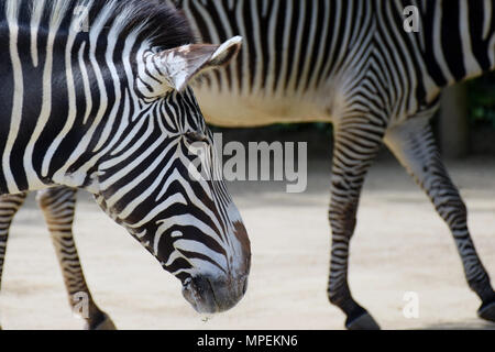 Grevy's Zebras (Equus grevyi), also known as the imperial zebra. - Stock Photo