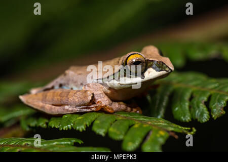 Tree climbing frog species (Boophis reticulatus) sits on leaf, Andasibe National Park, Madagascar - Stock Photo