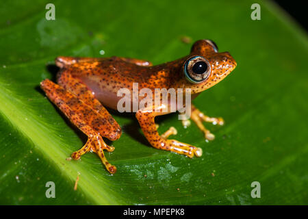 Tree climbing frog species (Boophis pyrrhus) sits on leaf, Andasibe National Park, Madagascar - Stock Photo