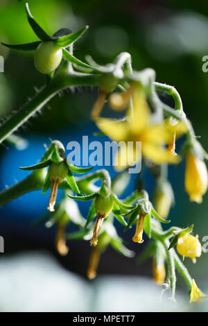 Artistic closeup of a cherry tomato plant setting fruit, little green tomatoes and blossom flowers - Stock Photo