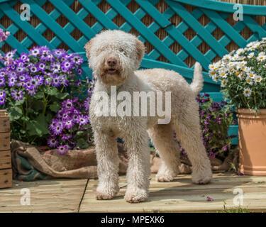 lagotto Romagnolo dog - Stock Photo