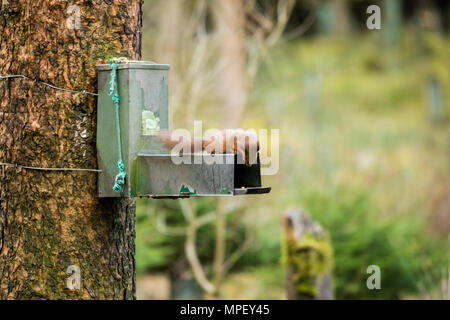 Single, cute red squirrel laying flat on top of feeder, peering inside -  Snaizeholme Red Squirrel Trail, near Hawes, Yorkshire Dales, England, UK. - Stock Photo