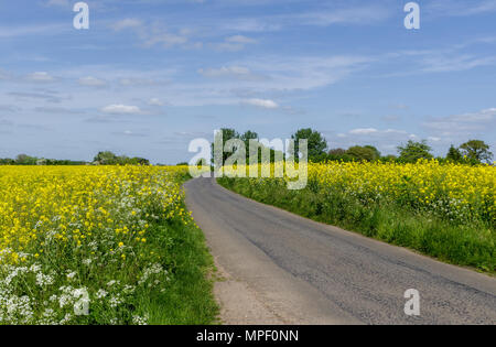 A country road flanked by yellow rapeseed fields under a blue sky; near Quinton, Northamptonshire, UK - Stock Photo